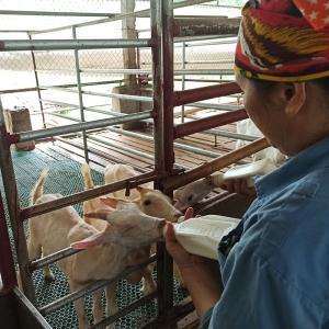 Goat milk farm in Vietnam